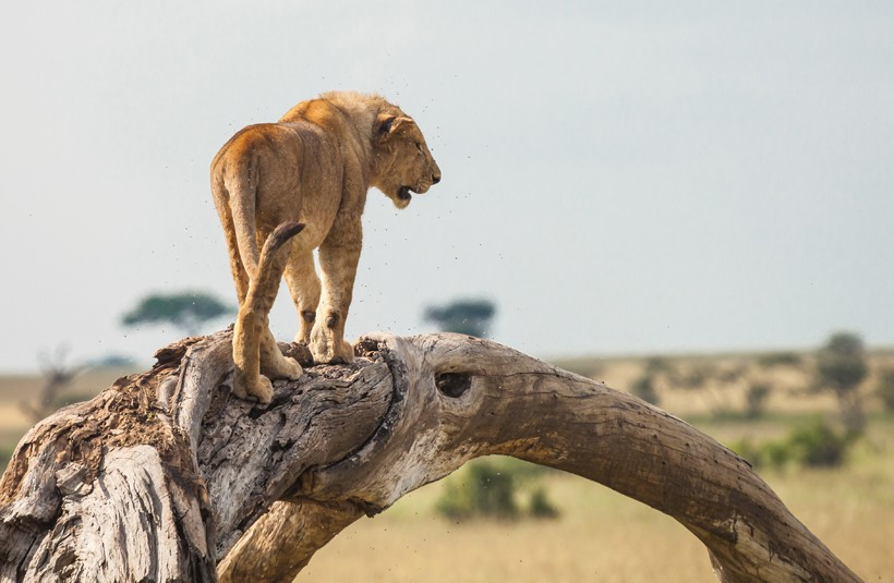 Female lioness walking on a branch