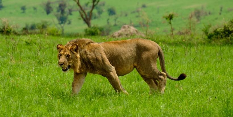 Congo Lion or Uganda Lion