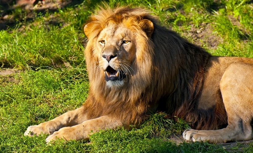 Southwestern African or Katanga lion