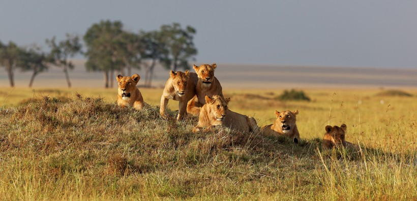 Lion pride on watch at sunset, Masai mara, Kenya, Africa