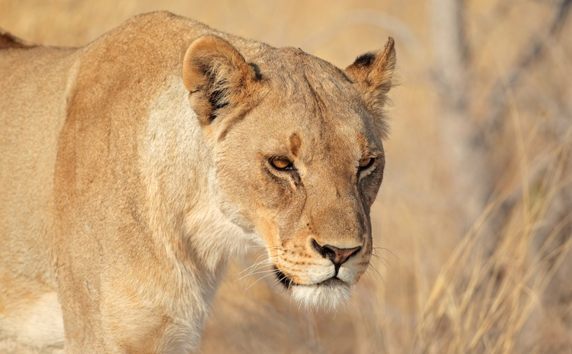 Lions have the status Vulnerable on the IUCN Red List
