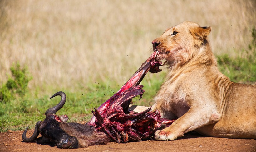 Lioness feeding on a wildebeest carcass
