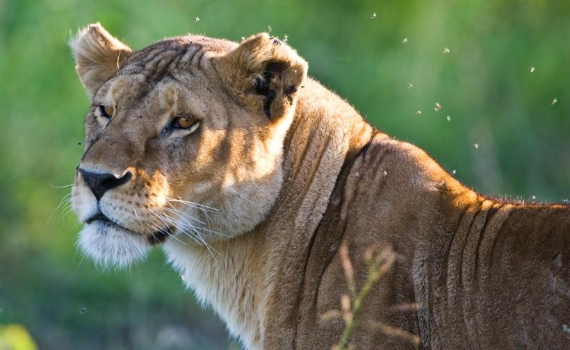 Closeup head lioness, Tanzania