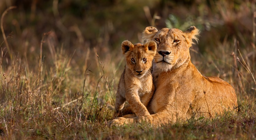 Lioness resting with cub in the sunset, Kenya