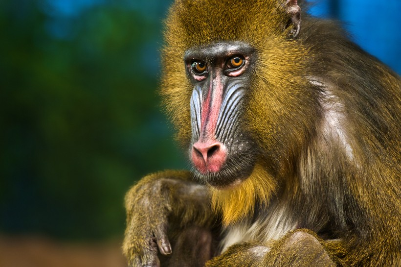 Alpha male mandrill bright colored face