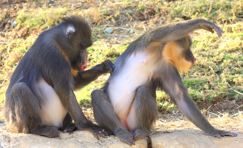 Mandrill apes delousing eachother