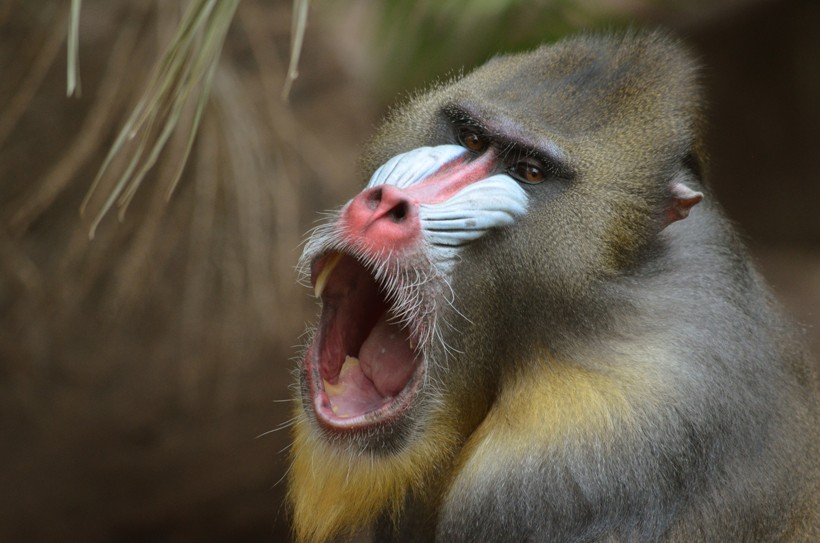 The 4,5 cm long canines of an alpha male mandrill