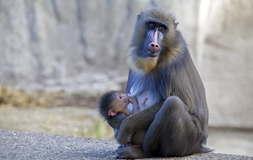 Mother mandrill weaning her newborn