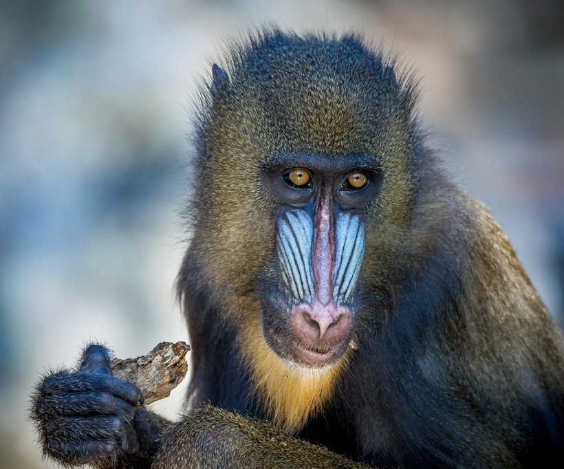 The diet of the omnivorous Mandrill contains worms, spiders, ants, snails, small bugs, and lizards.