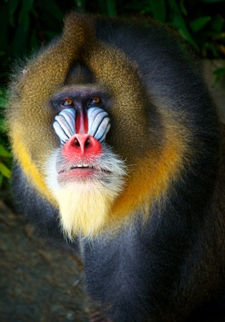 Portrait male mandrill