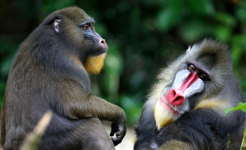 The mandrill is listed as a vulnerable species by the International Union for Conservation of Nature (IUCN).