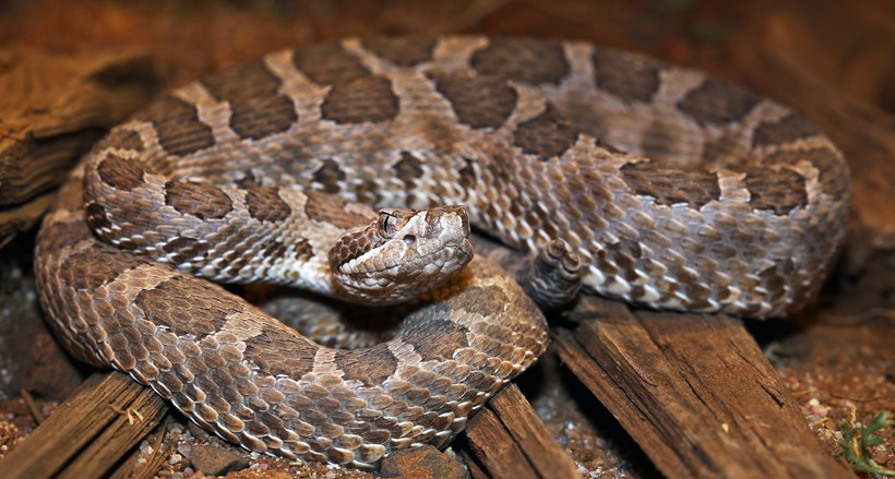 Massasauga Rattlesnake (Sistrurus catenatus) | about animals