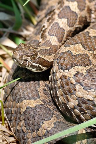 Closeup Eastern Massasauga Rattlesnake