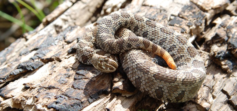 Eastern massasauga rattlesnake on a trunk