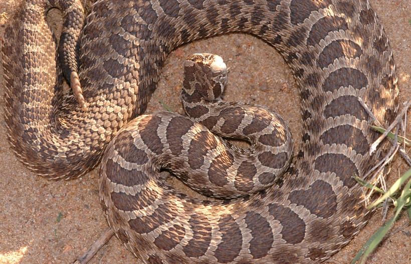 Western Massasauga Rattlesnake (Sistrurus catenatus tergeminus)