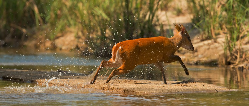 Muntjac deer crossing water