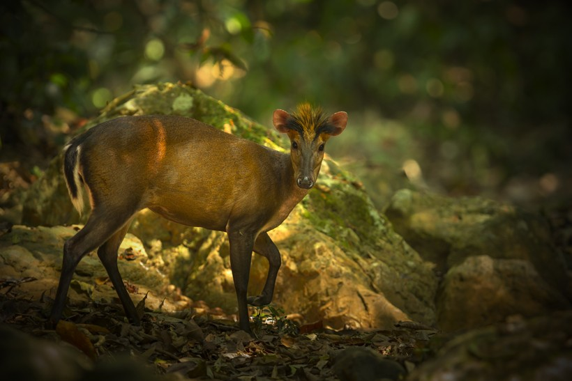 Fea's muntjac in the jungle of Thailand