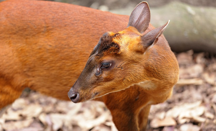 Indian muntjac deer (female)