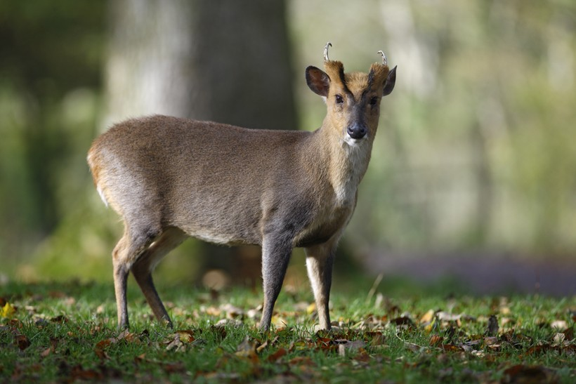 Reeves' Muntjac or Chinese muntjac