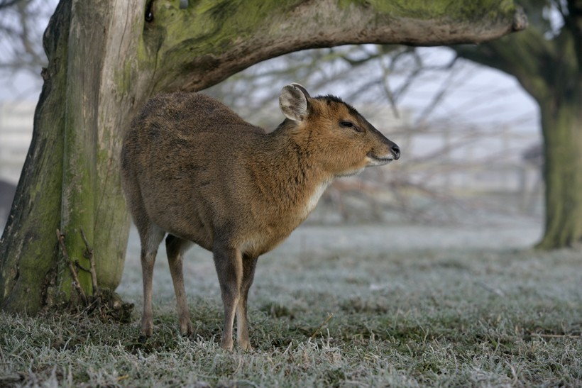 Small muntjac under a tree