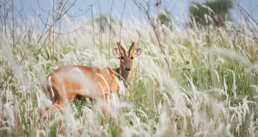 Muntjac deer in a habitat with long grass