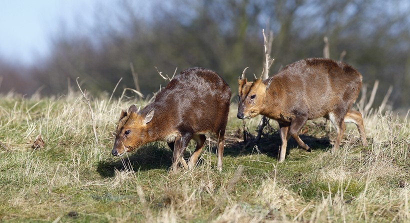 Two muntjac deers in grassland