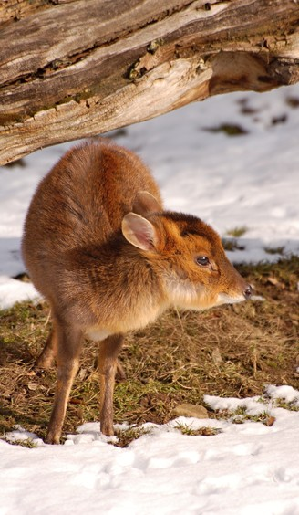 Small muntjac young in the snow