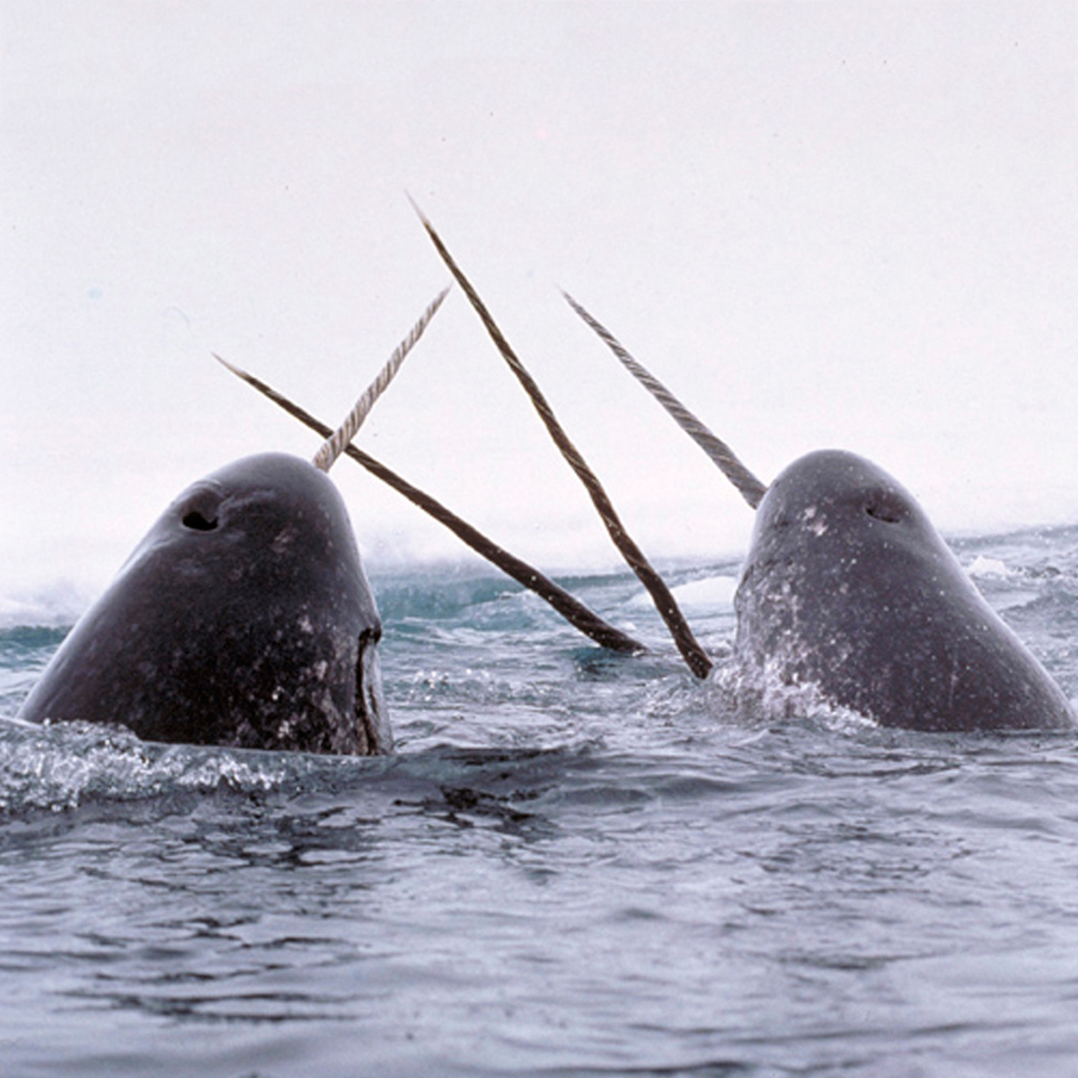 Narwhal Monodon Monoceros About Animals