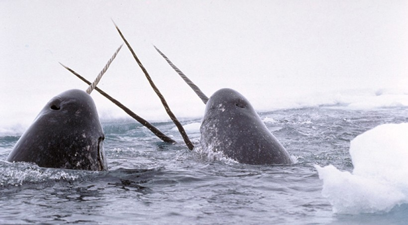 Narwhals breaching ice
