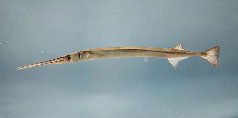Atlantic needlefish (Strongylura marina), Gulf of Mexico.