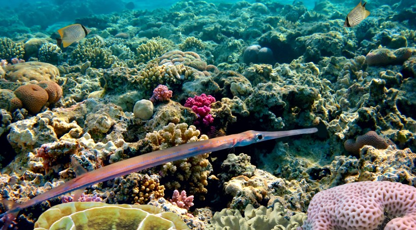 Needlefish swimming in a coral reef