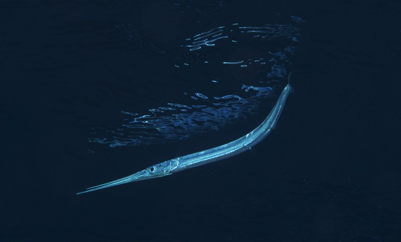Needlefish in Red Sea, Egypt