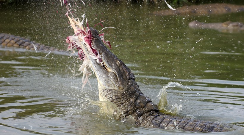 Nile crocodile catching a bird