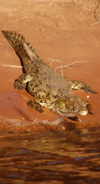 Nile crocodile on chobe river