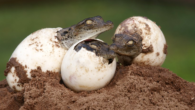Nile crocodile newborns hatch from the eggs