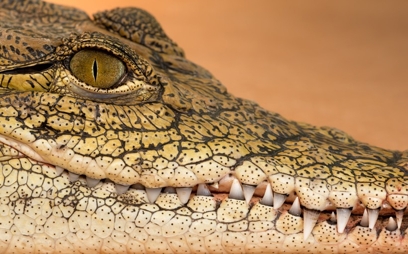 Closeup head nile crocodile