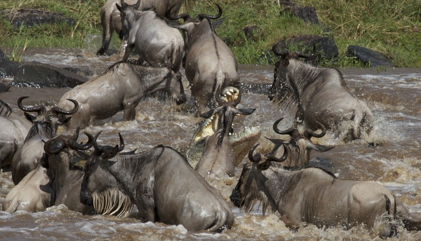 Nile crocodile attacks a wildebeest during the mara river crossing, masai mare, Kenya