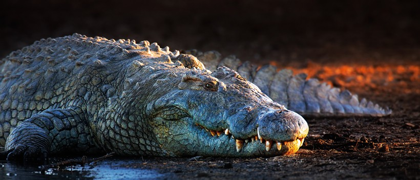 Nile crocodile on a riverbank, last light of day, kruger national park South Africa
