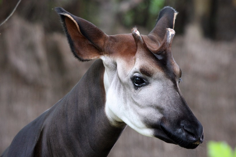 Closeup horned head Okapi