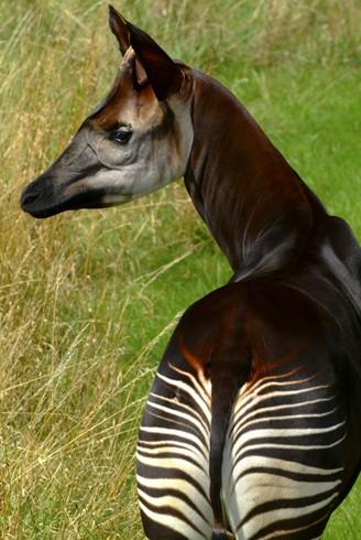 Portrait image Okapi