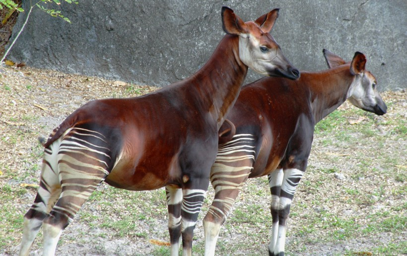 Pair of Okapi standing