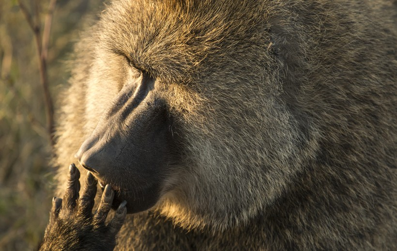 Olive baboon licking its fingers, serengeti national park, tanzania