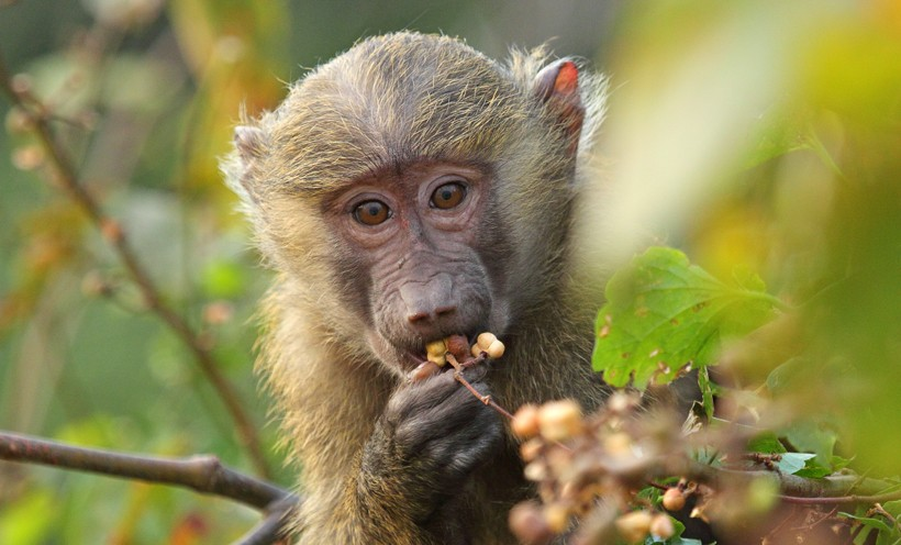 The olive baboon is omnivorous but prefers to depend primarily on a herbivorous diet.