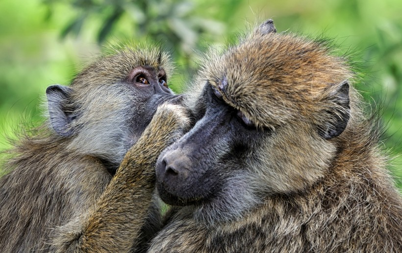 Olive baboon grooming
