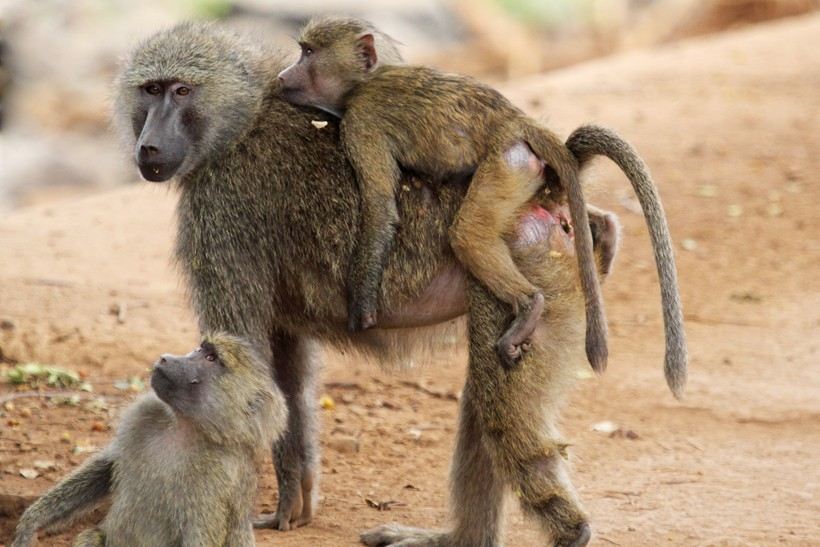 Mother olive baboon carrying her baby on the back