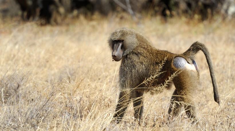 Olive baboon walking on the savanna