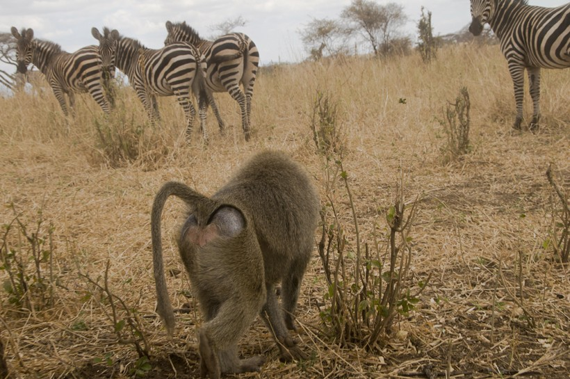 Olive baboon with a herd of zebras in lake manyara national park Tanzania