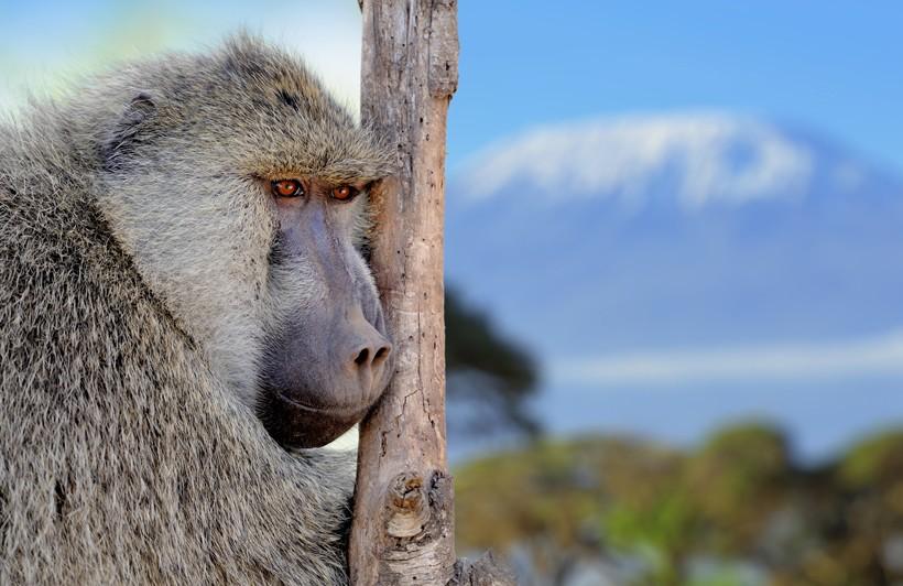 Olive baboon watching over the savanna, Amboseli National Park of Kenya