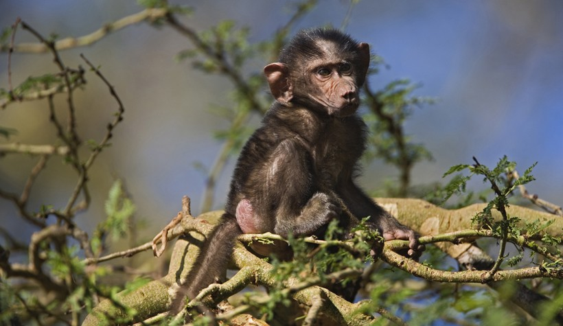 Baby olive baboon, lake nakuru, national park Kenya