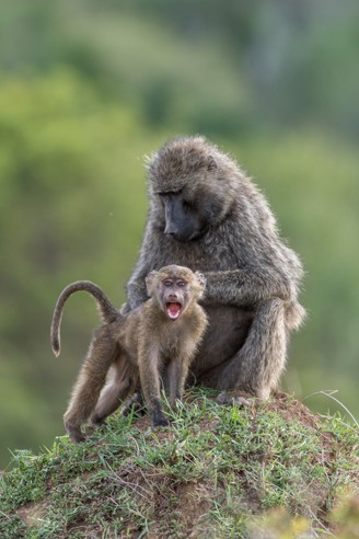 Olive baboon mother and young on a termite mount